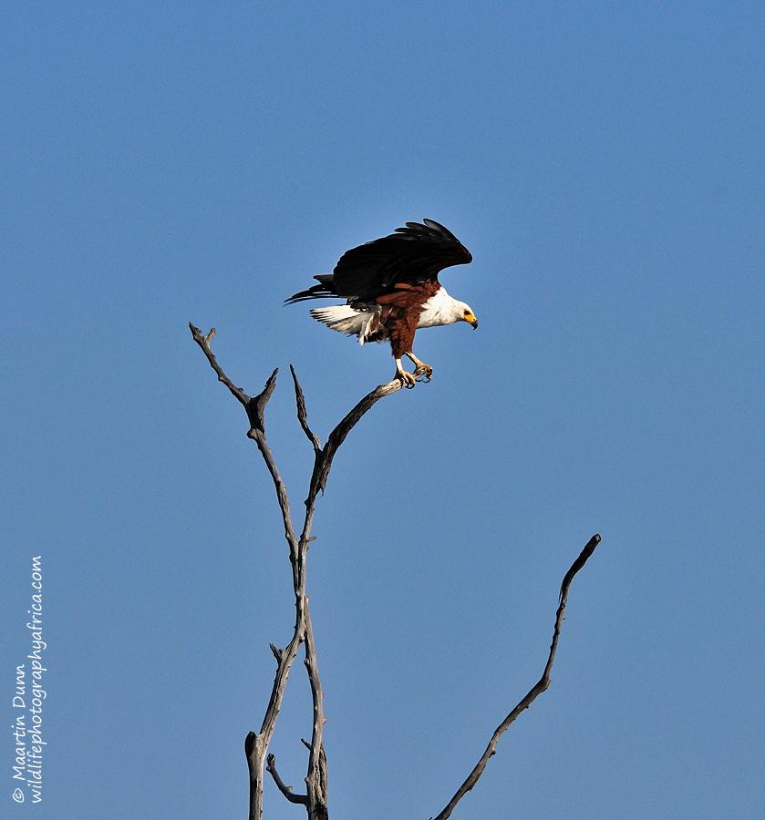 African Fish Eagle - (Haliaeetus vocifer)