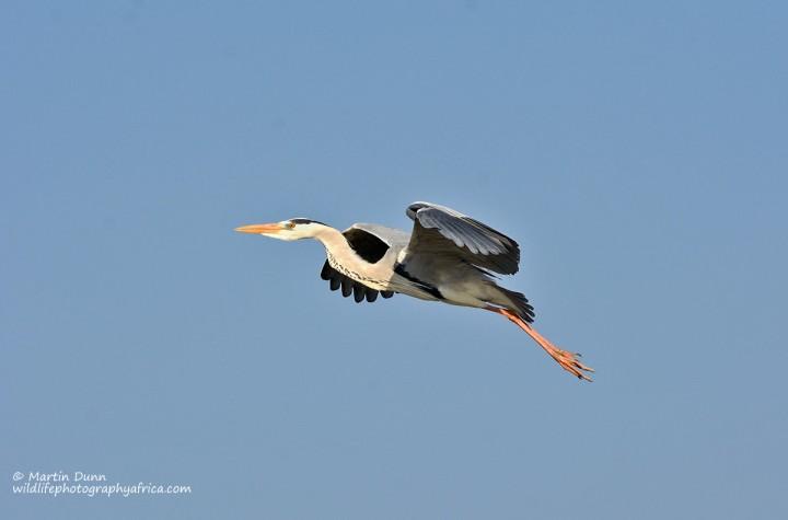 Grey Heron - (Ardea cinerea)