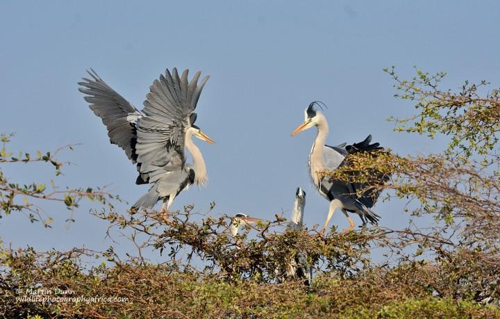 Grey Herons (Ardea cinerea)