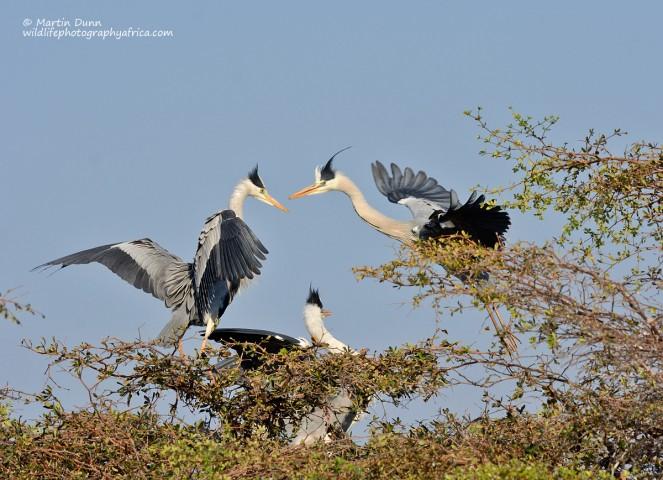 Grey Herons - (Ardea cinerea)