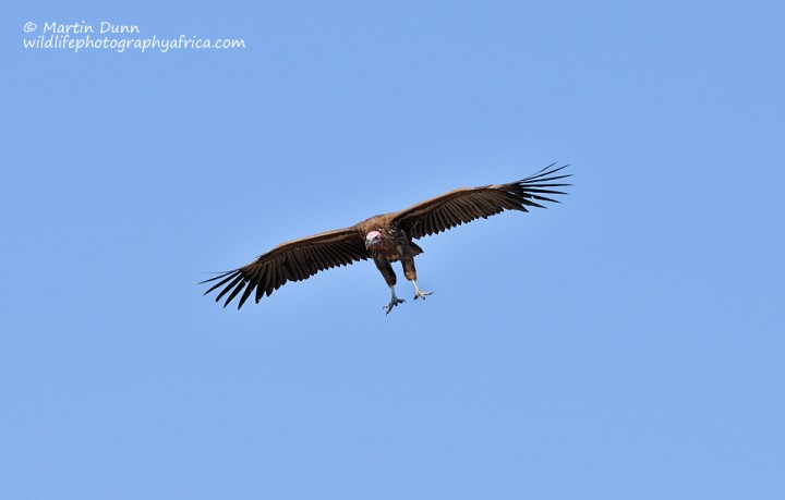 Lappet Faced Vulture - (Aegypius tracheliotos)
