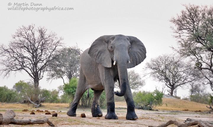 Elephant bull - Hwange NP