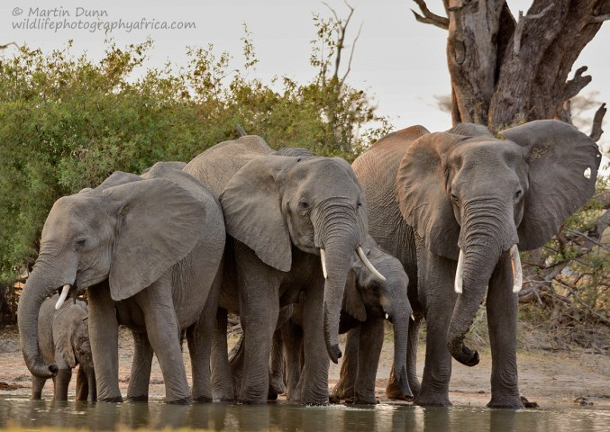 Elephants at the 'Look Up' - Hwange NP