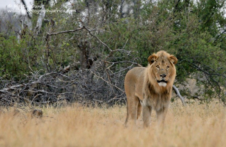 Male Lion - Hwange NP