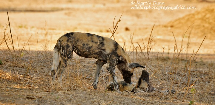 African Wild Dogs - mana Pools NP