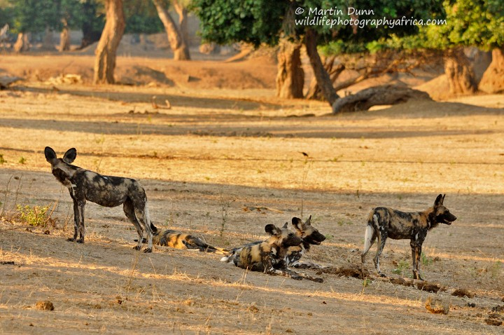 African Wild Dogs _ Mana Pools NP