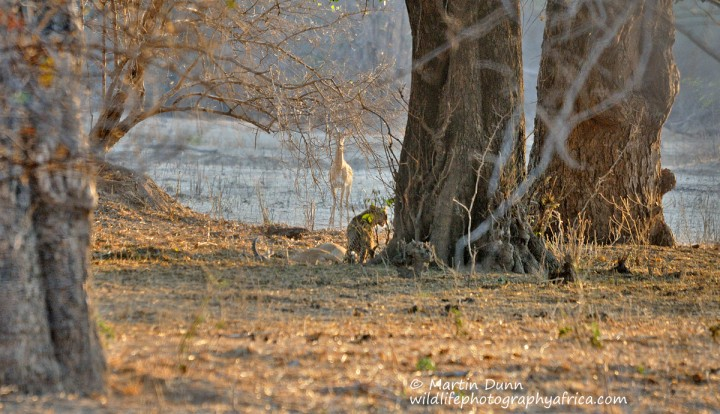 Leopard with Impala kill - Mana Pools NP