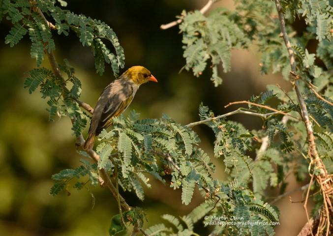 Red Headed Weaver (female) - Anaplectes melanotis
