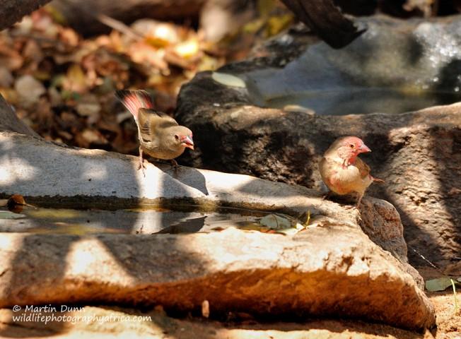 Red Billed Firefinch - (Lagonosticta senegala)