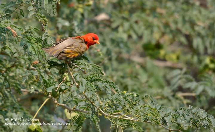 Red Headed Weaver - (Anaplactes melanotis)