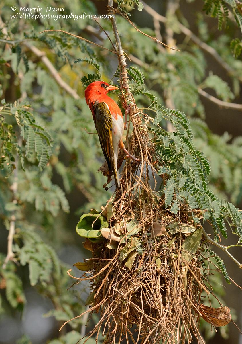 Red Headed Weaver - (Anaplectes melanotis)