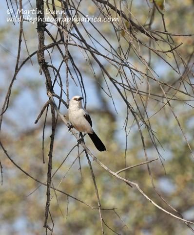 Southern Pied Babbler- Turdoides bicolor