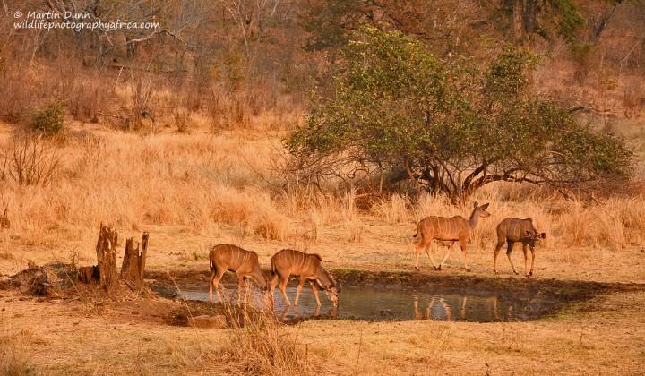 Greater Kudu - females