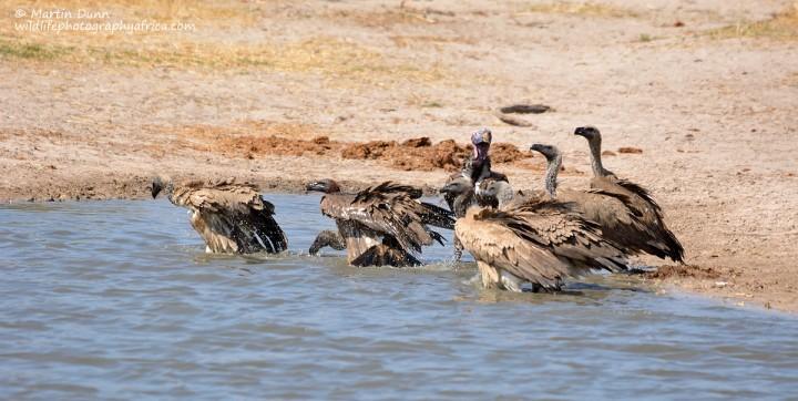 Vultures taking a bath