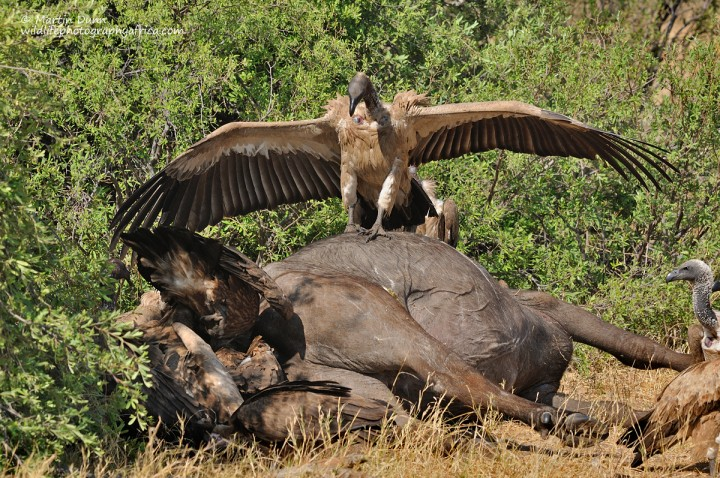 White Backed Vulture (Gyps africanus) staking its claim to a buffalo carcass