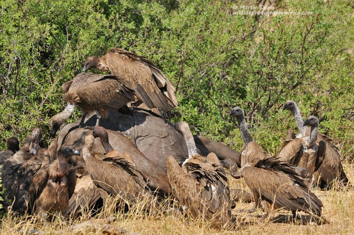 White Backed Vultures squabbling over a buffalo carcass