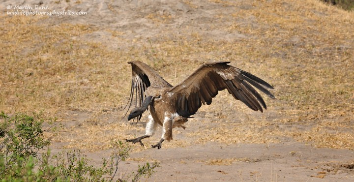 White Backed Vulture - (Gyps africanus)