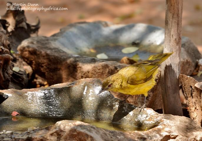 Yellow Bellied Greenbul - (Chlorocichla flaviventris)