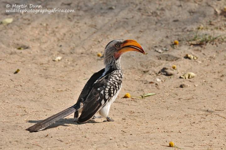 Southern Yellow Billed Hornbill - Tockus leucomelus