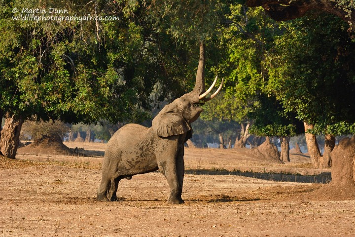 A typical pose for a Mana Pools elephant