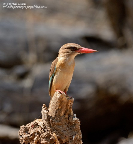 Brown Hooded Kingfisher - (Halcyon albiventris)