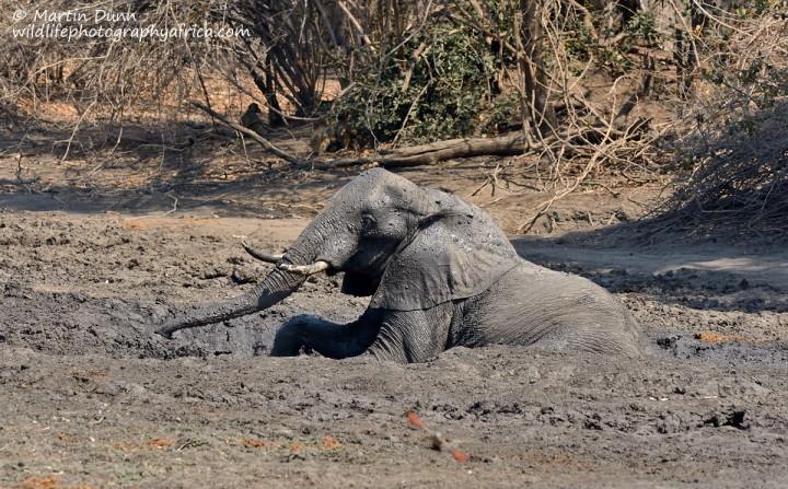 Elephant mud bath, Kanga Pan, Mana Pools NP