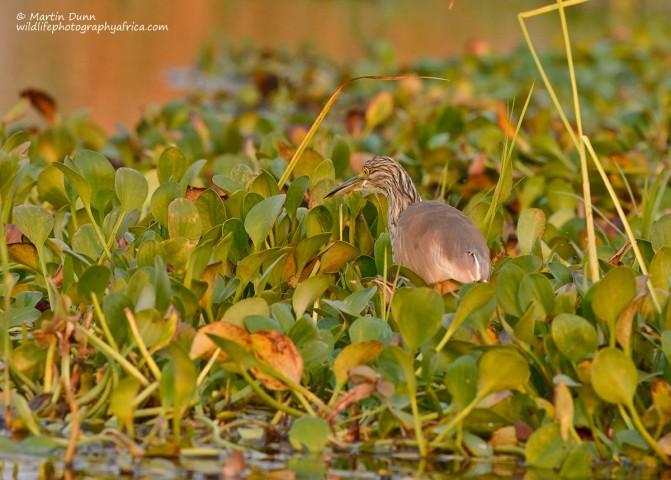 Squacco Heron - (Ardeola ralloides)