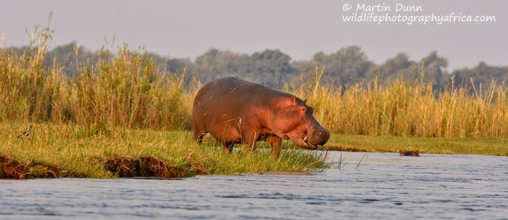 Hippo on the banks of the Zambezi river