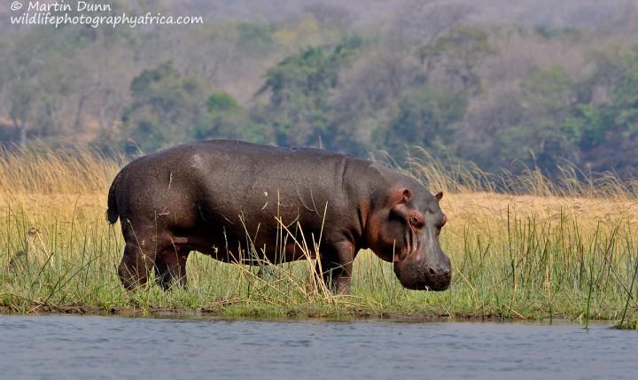 A hippo eyes us suspiciously
