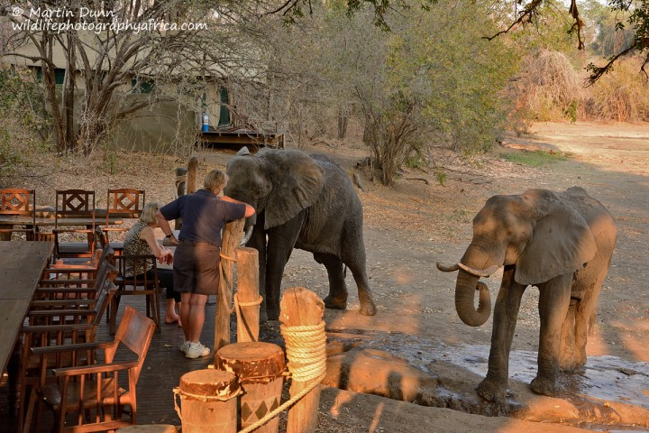 Curious elephants at Kanga Camp, Mana Pools NP