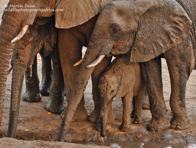 Elephants, kanga Pan, Mana Pools NP