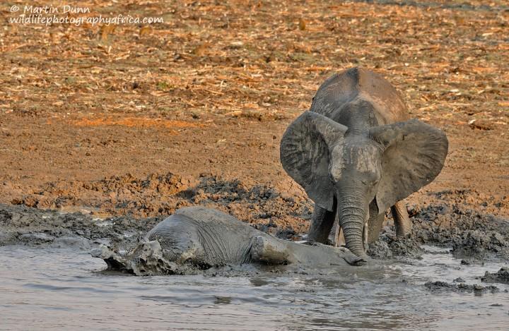 Elephants enjoy a mud bath, Kanga Pan, Mana Pools NP