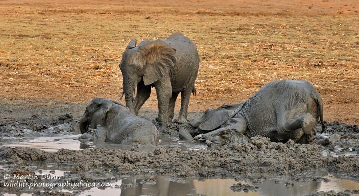 Young elephants enjoy a mud bath, Kanga Pan, Mana Pools NP