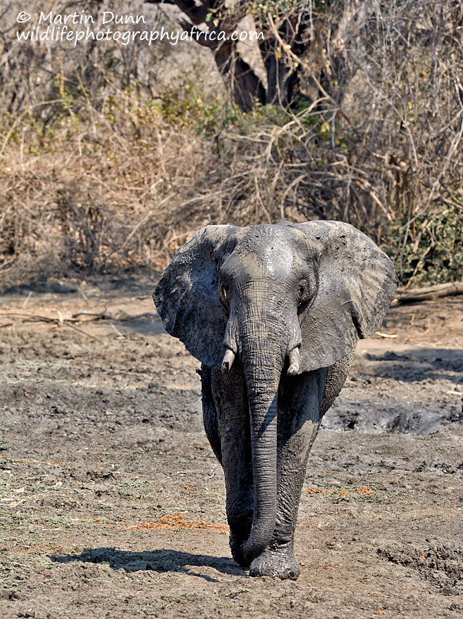 Elephant, Kanga Pan, Mana Pools NP