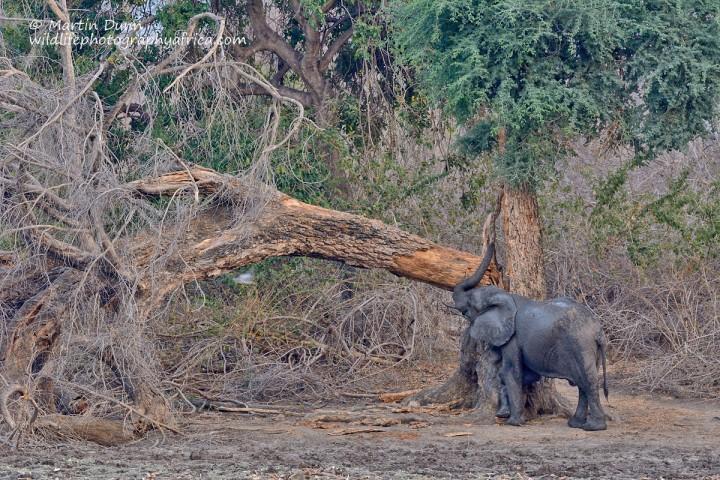 Can't beat a good scratch. Elephant, Kanga Pan, Mana Pools NP