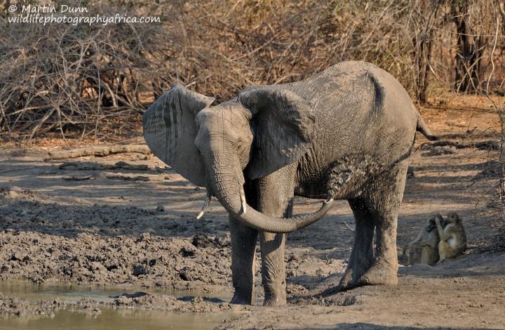 Elephant mud shower, Kanga Pan, Mana Pools NP