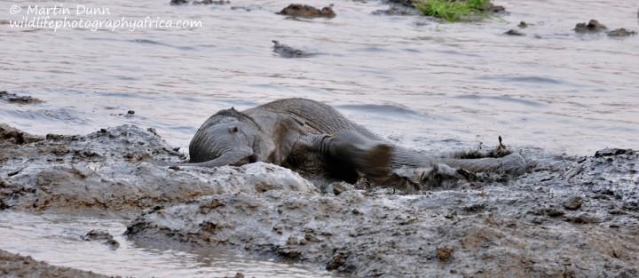 A young elephant enjoys the mud, Kanga Pan, Mana Pools NP