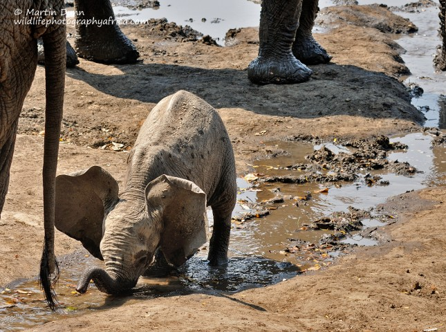 It takes a while for an elephant calf to learn to use it's trunk. Until then it has to kneel to drink.