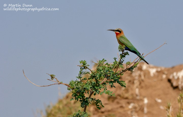 White Fronted Bee Eater - (Merops bullockoides)