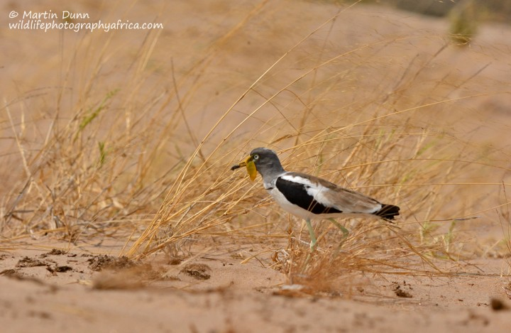 White Crowned Lapwing - (Vanellus albiceps)