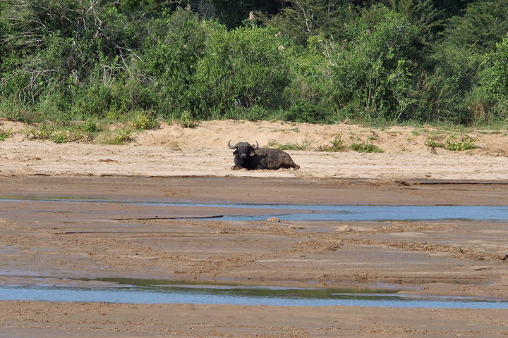 One of the many Dagga Boys we saw resting in the river bed