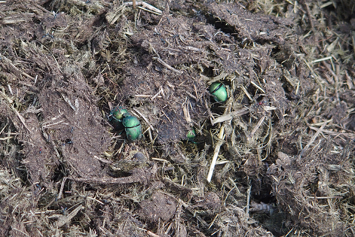 Dung Beetles exploring the rhino midden