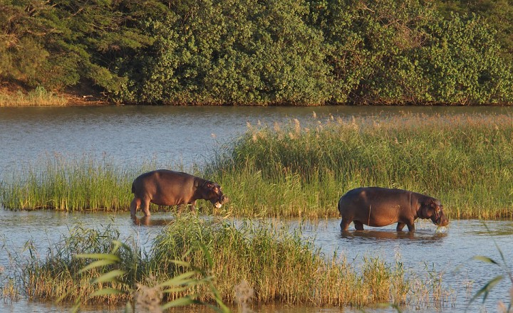Hippos at St Lucia