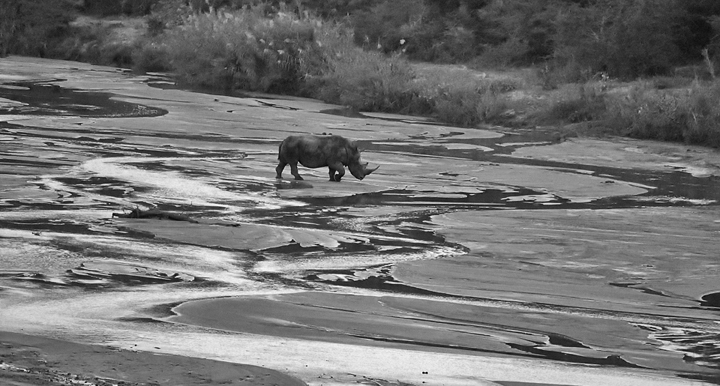 Rhino crossing the river