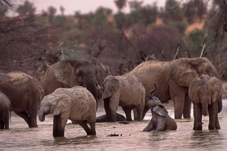 Elephants - Lake Banzena - Mali