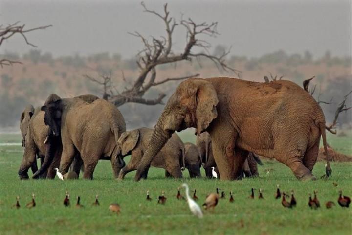 Elephants - Lake Banzena - Mali