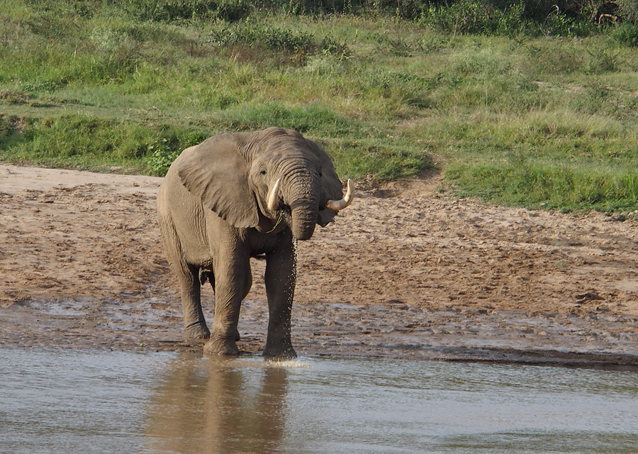 Elephant drinking from the white Umfolozi river