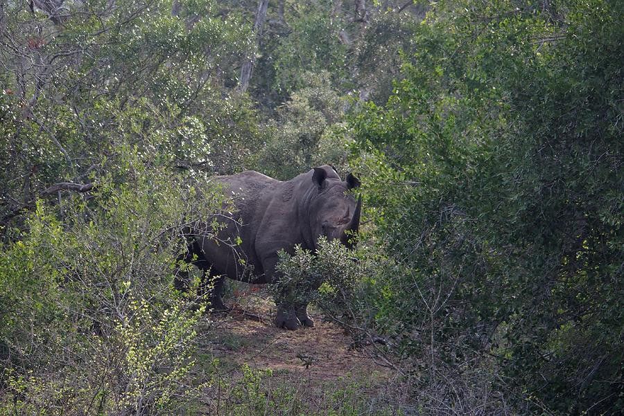 Rhino lurking