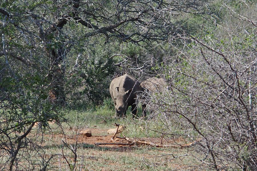 Rhinoceros ahead