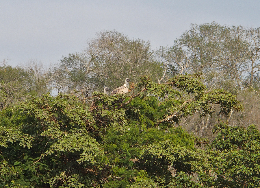 White Backed Vultures nesting